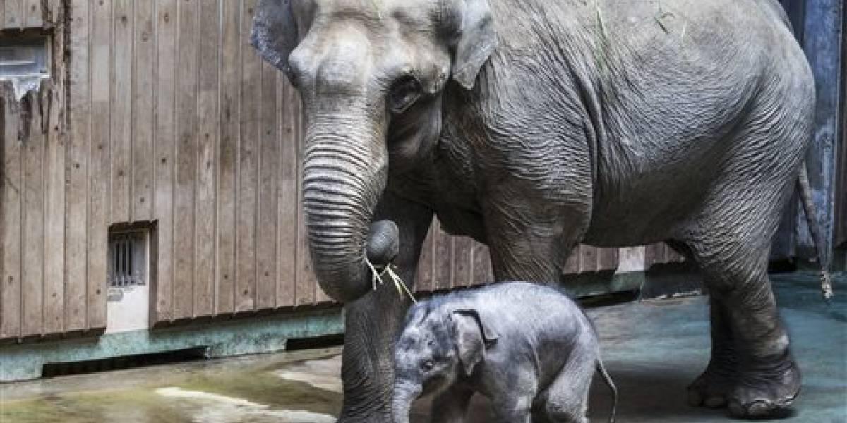 Zoo de Moscú muestra a elefante recién nacido