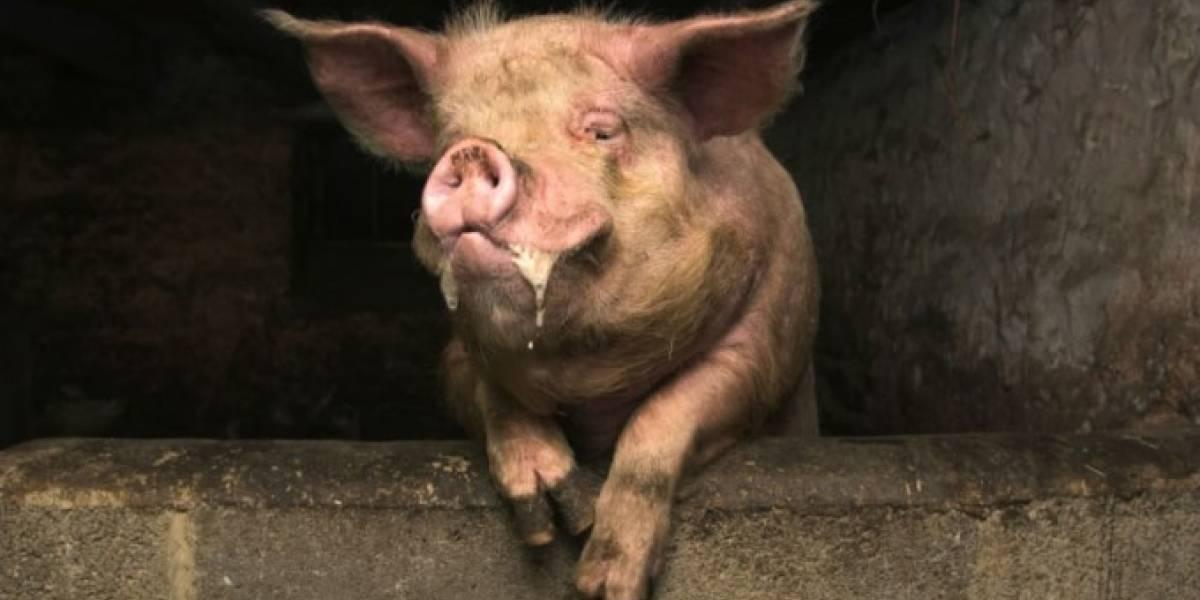 Se fue al chancho: borracho patea a cerdo y animal se venga comiéndole delicada parte de su cuerpo