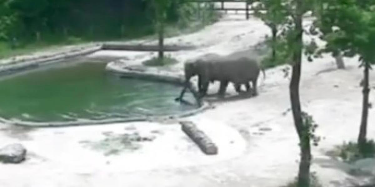 Elefantes rescatan a su cría que se estaba ahogando