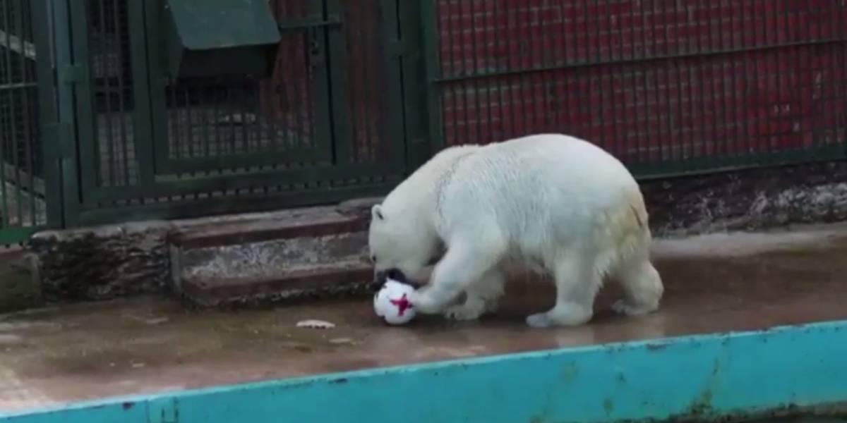 Oso polar predice la victoria del Tri ante Rusia en la Confederaciones