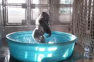 El video del gorila que disfruta bailando en la piscina y que todos quieren ver