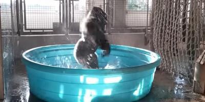 El gorila que sorprende en redes sociales bailando — VIDEO] Zola