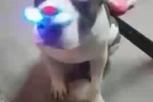 Fidget Spinner, el juguete favorito de este perro