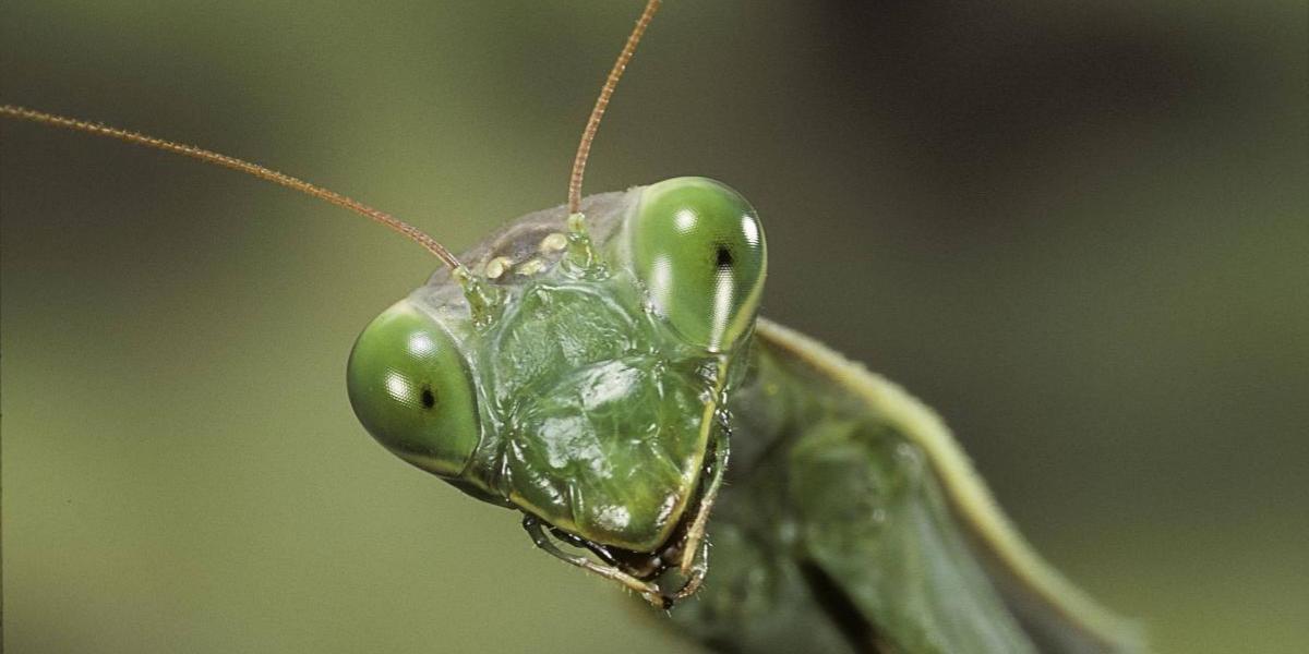 La aterradora imagen de una mantis devorando la cabeza de un pájaro que inquieta a las redes