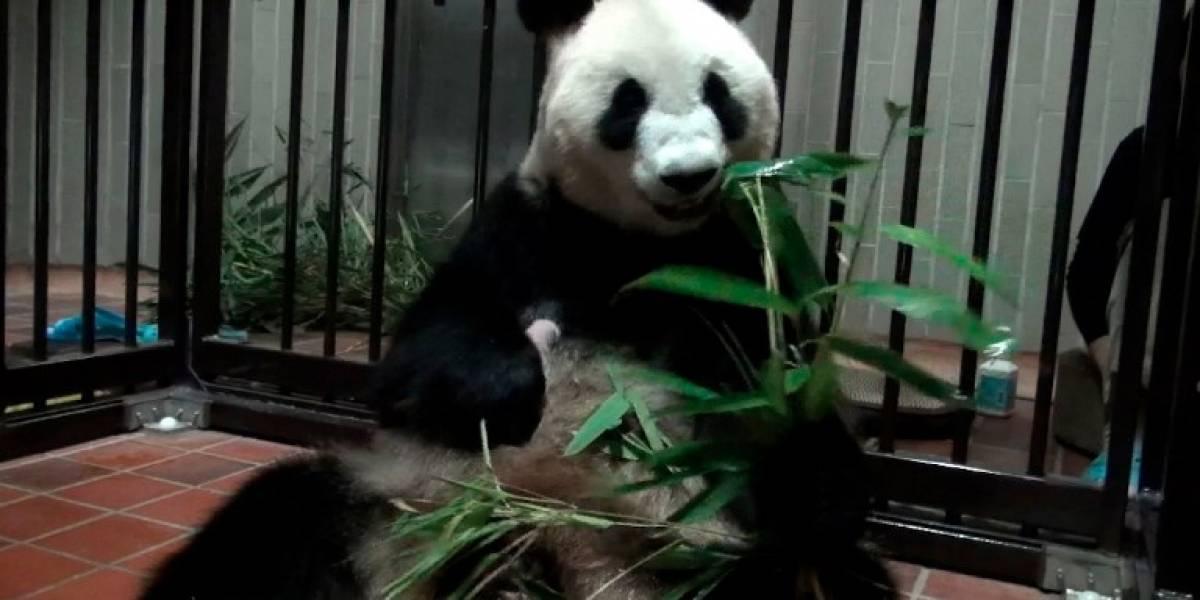 "Descubren sexo de la ""pequeñísima"" cría de oso panda nacida en Japón"