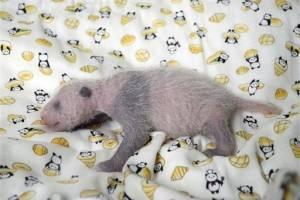 Cría panda en Japón