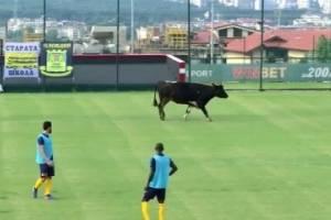 VIDEO: Vaca interrumpe partido de futbol al meterse al campo
