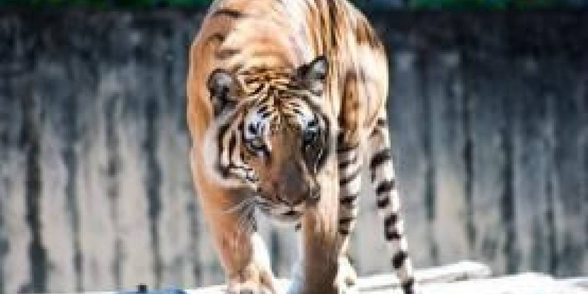Notícia de que tigres teriam fugido de zoológico no Rio é boato