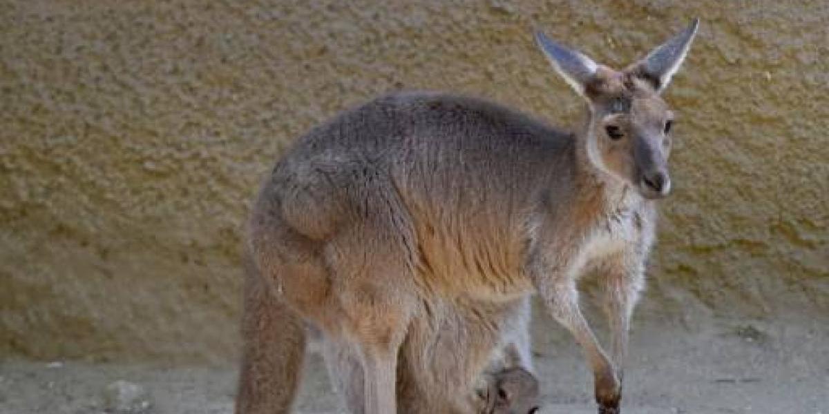 Al estilo de la mafia: encuentran canguro acribillado y atado a una silla en una carretera de Australia