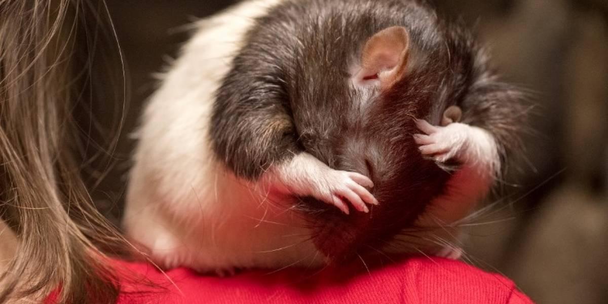 ¡Tómate un café acariciando ratas!: Así es el extraño local de moda en EEUU