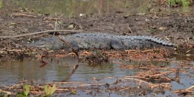 Ataca cocodrilo en Cancún a turista, le quita parte del brazo