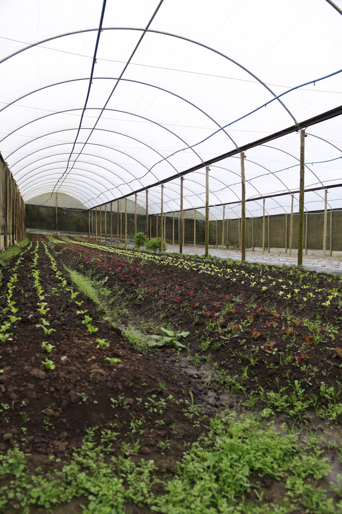 Estufa com parte dos alimentos orgânicos da fazenda também abriga morangos | Eliane Quinalia