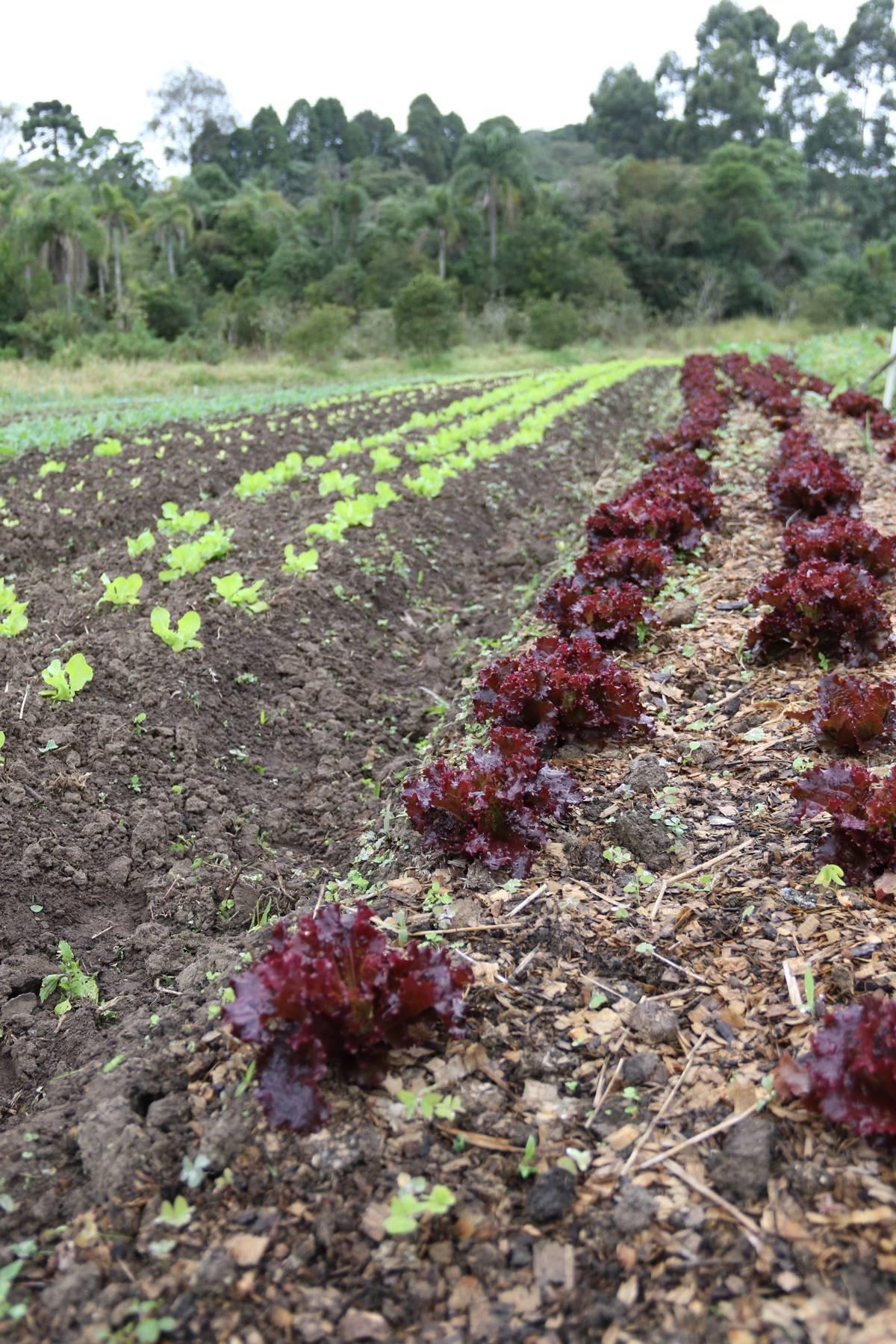 Verduras produzidas na horta orgânica da fazenda são colhidas pela manhã e servidas aos hóspedes no almoço | Eliane Quinalia