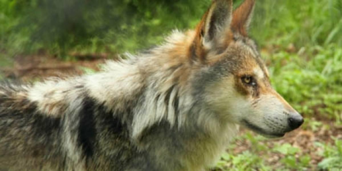 Nacen siete crías de Lobo Mexicano en zoológico de la Ciudad de México