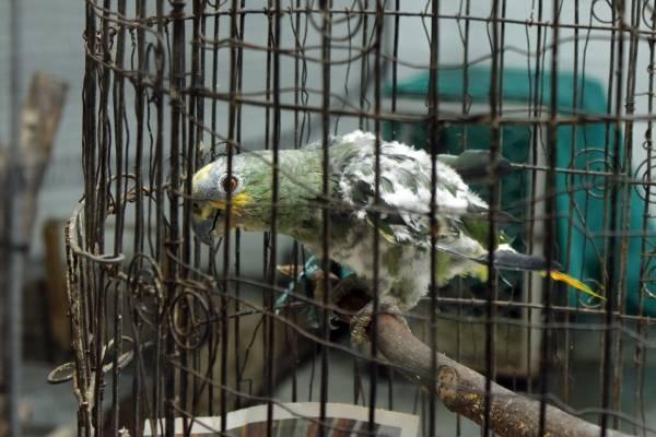 Hay ciertos tipos de aves ornamentales que se pueden tener en el hogar, pero las loras no hacen parte de ellas.