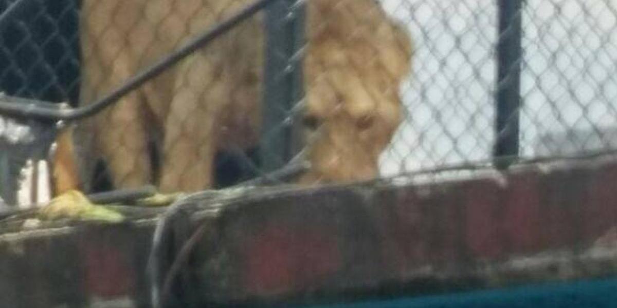 Brigada Animal rescata a león que vivía en una azotea de la Merced