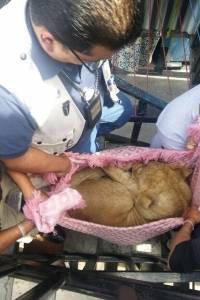 Rescate de león en cautiverio en la Merced
