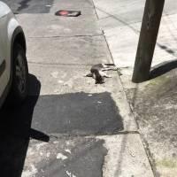 Asesinato de gatos en Mixco