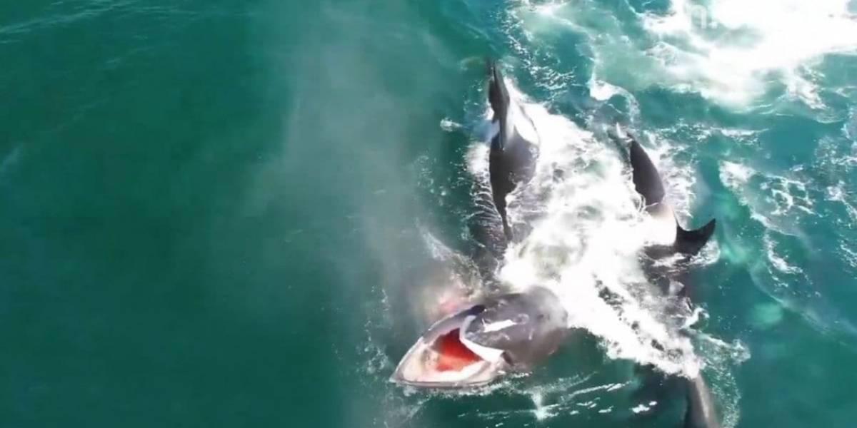 Grupo de orcas devora a una ballena de 12 metros