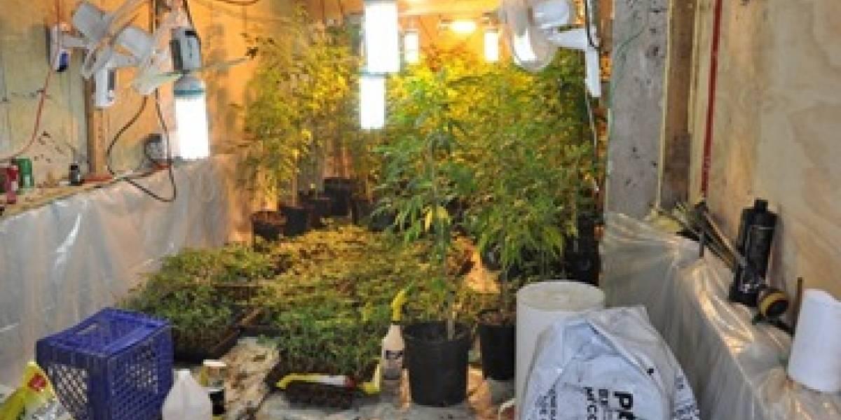 Policía incauta 1,071 plantas de marihuana en Canóvanas