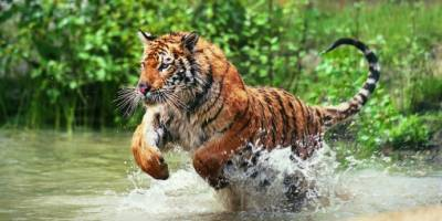 Surgen imágenes de tigre pálido, único en el mundo
