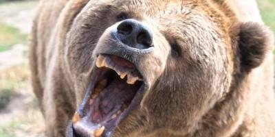 Un oso le mordió la cabeza a un joven en un campamento