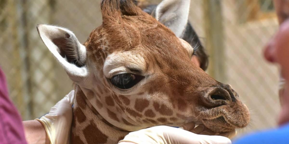Jirafa bebé lucha por su vida en el zoológico de Maryland