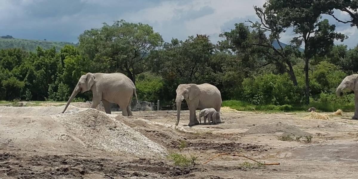 Él bebé elefante nacido en Africam Safari caminando a lado de sus padres