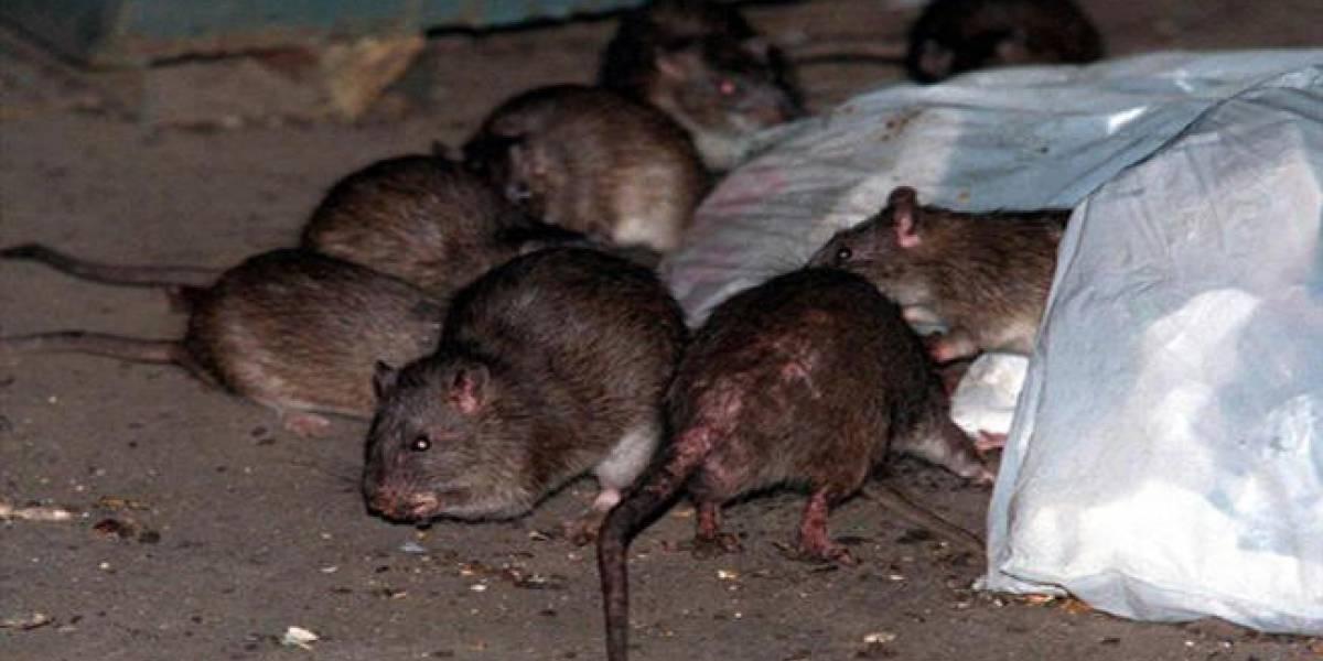 Nueva York lanza plan para reducir población de ratas