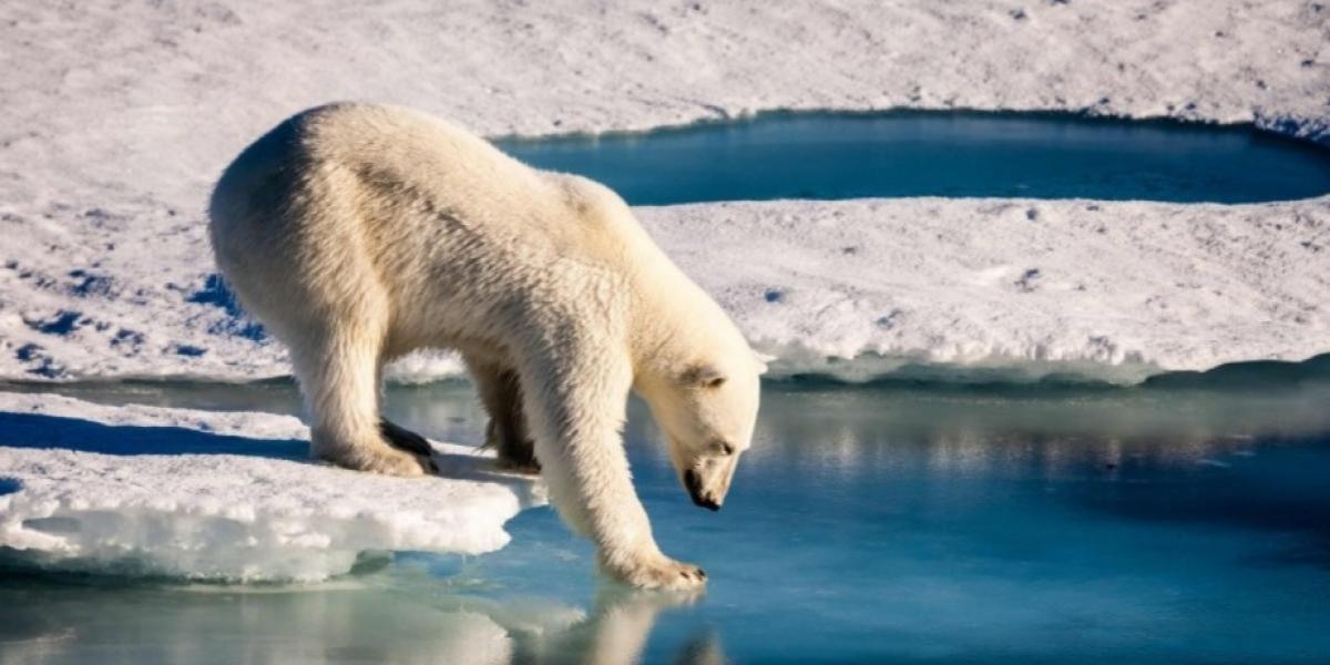 Nueva consecuencia del calentamiento global: osos polares devorarán más humanos
