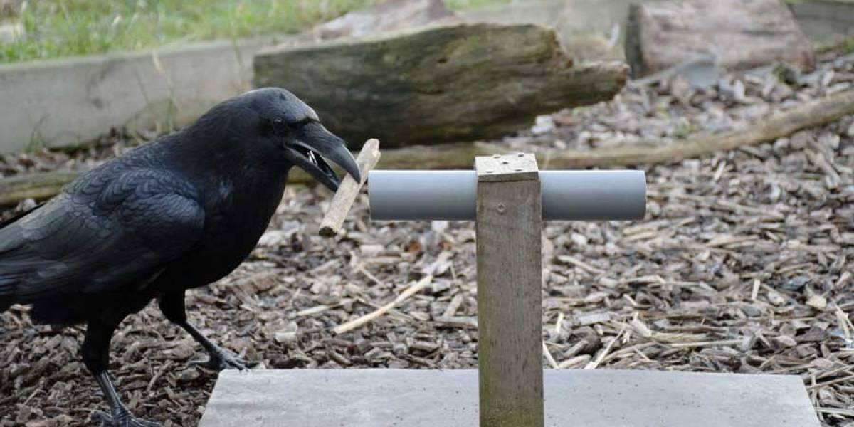 Los cuervos tienen capacidad de previsión, según estudio