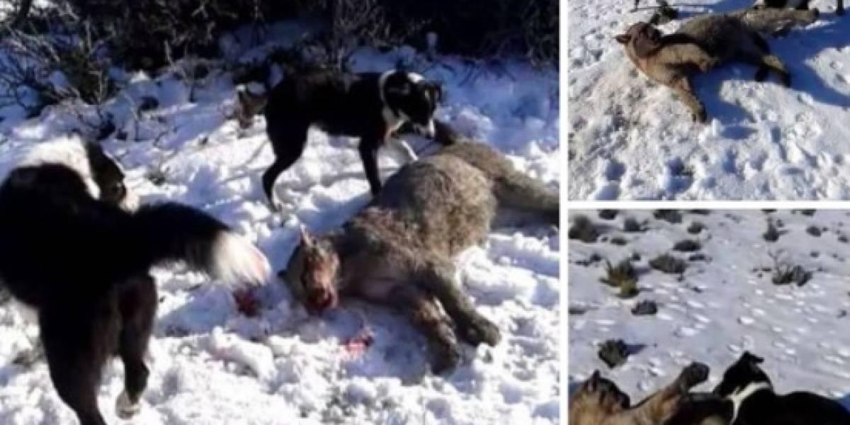 """""""Vamos a perseguir a este cazador"""": la amenaza de ministro de Medio Ambiente tras """"infame asesinato de puma"""""""