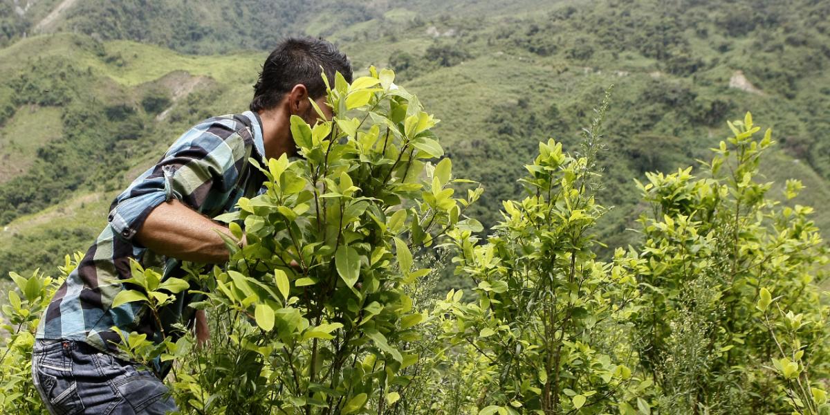 Los cultivos de coca en Colombia crecen 52 % y regresan a los niveles de 2001