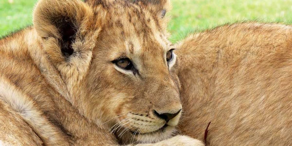FOTOS. Leona alimenta a bebé leopardo, algo poco visto entre especies
