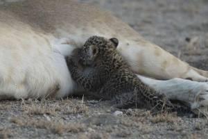 leonaalimentaleopardo1.jpg