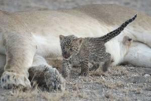 leonaalimentaleopardo2.jpg