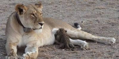 Leona alimenta a bebé leopardo