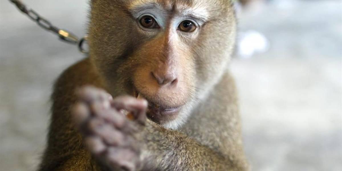Recurren ante la justicia para defender los derechos de un mono