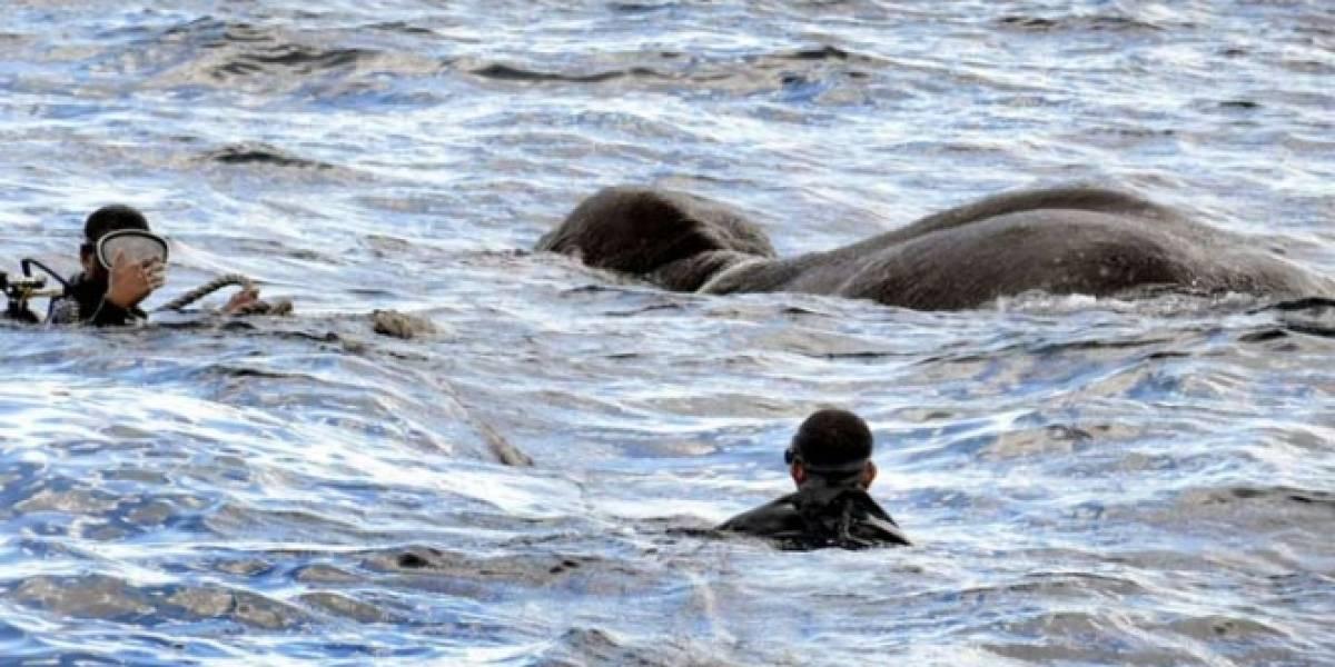VIDEO: Bote patrulla rescata a elefante varado en el océano