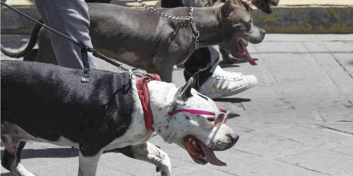 Piden regular tenencia de pitbull para evitar agresiones
