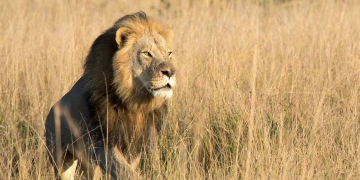 Asesinaron a Xanda, el hijo mayor de Cecil, el león cazado por un dentista