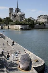 Encalla ballena en París