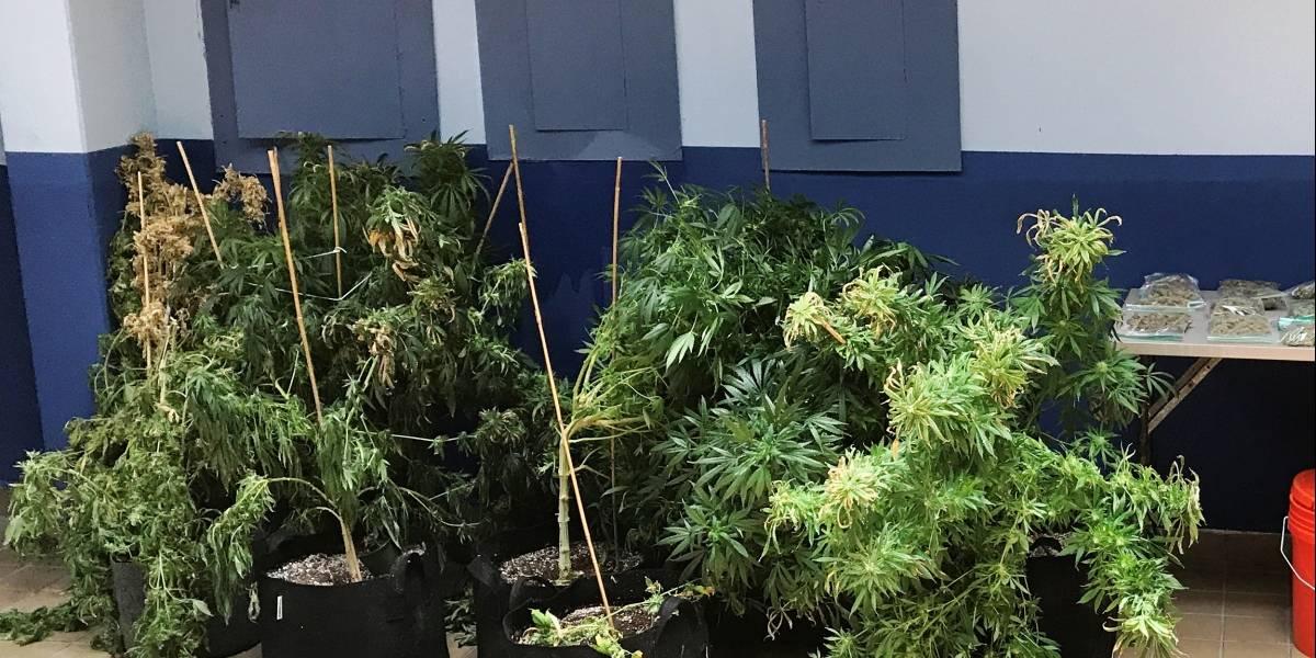Hallan invernadero de marihuana en medio de investigación policial
