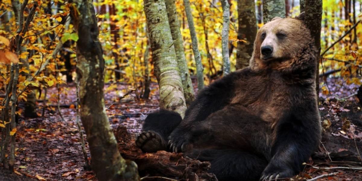 El trágico final de un rebaño de ovejas: fueron atacadas por uno oso pero murieron por otro motivo