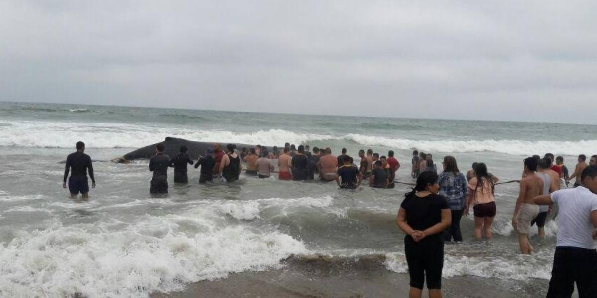 Voluntarios liberan a ballena varada en Santa Elena