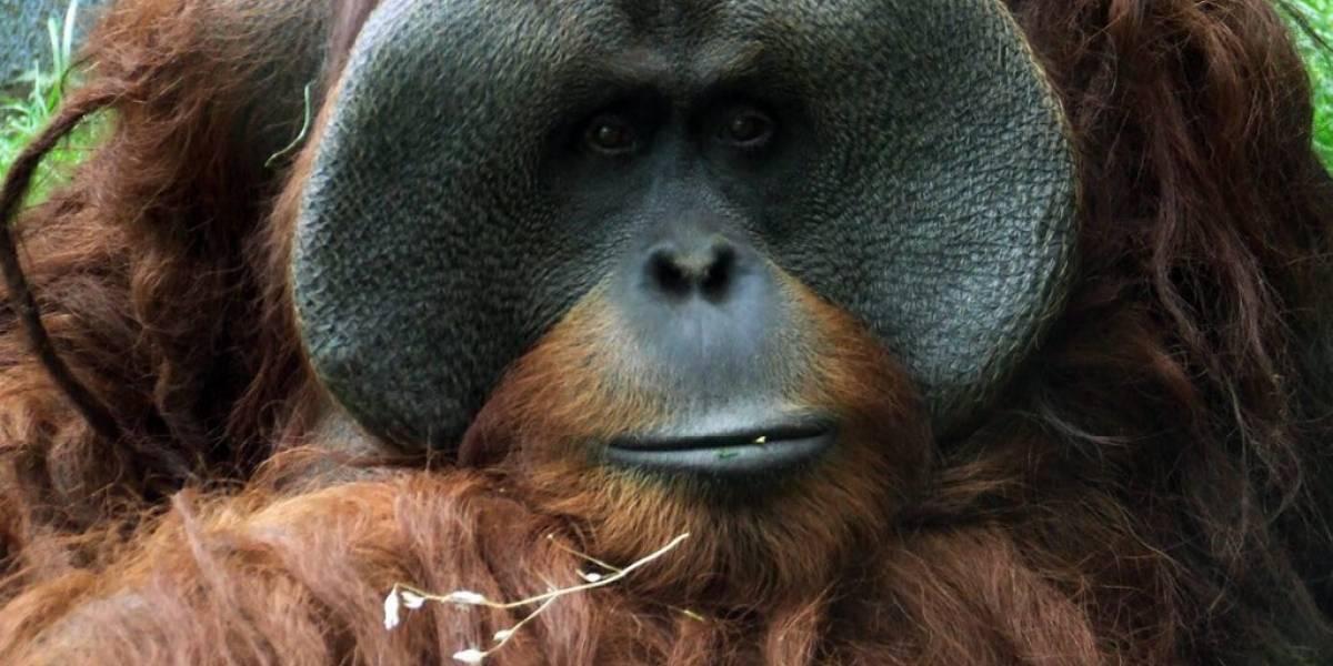 Medicamento caduco, pudo aplicarse a orangután Jambi