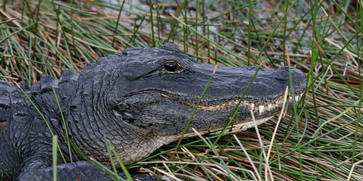 Hombre pierde un testículo en ataque de caimán en Florida
