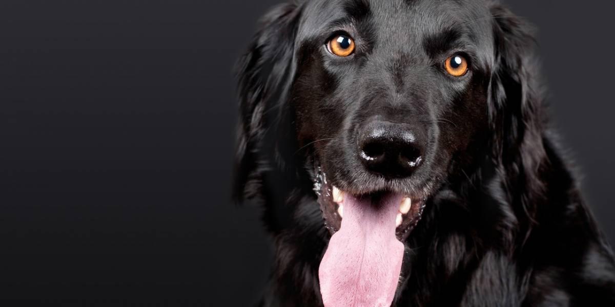 Vida animal: Sete anos de idade de um cão equivalem a um ano humano?