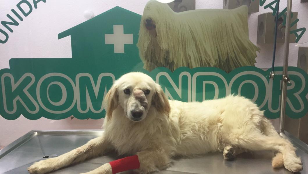 ¡Indignante! Un perro fue golpeado con un ladrillo y tiene que ser operado para su recuperación