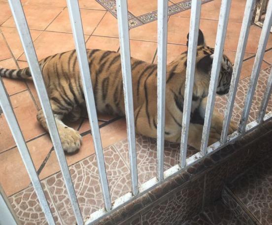 Aseguran tigre de bengala en domicilio de Monterrey
